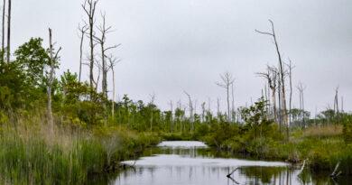 A medida que el agua del mar se mueve tierra adentro, los bosques fantasma se expanden.  ¿Por qué da tanto miedo?